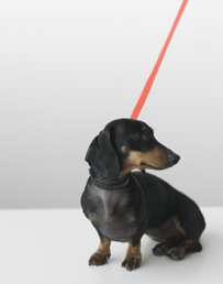 A sausage dog sitting on a leash